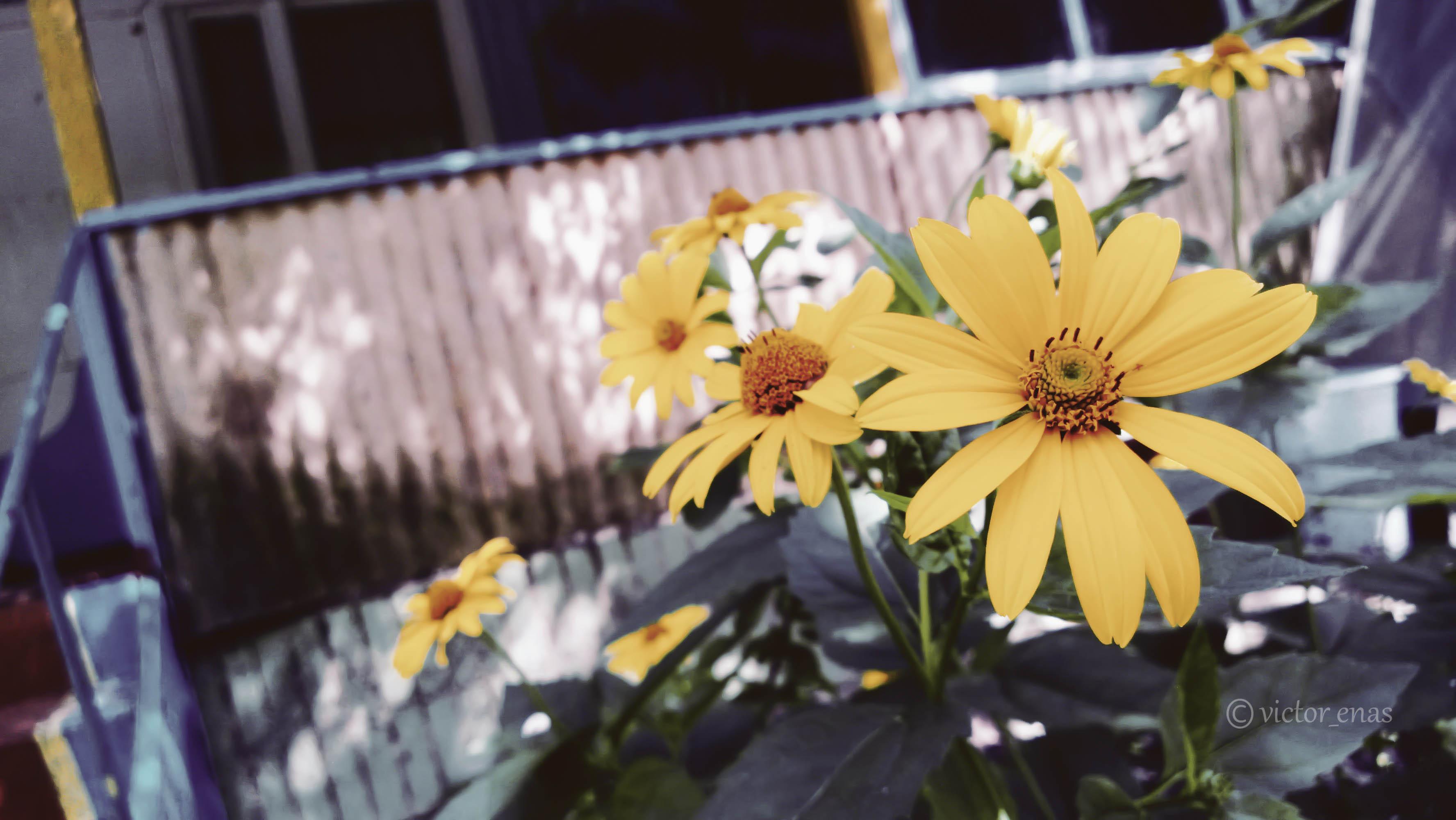 I'm Walking on Sunflowers…