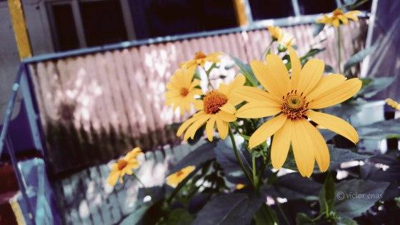 Sunflowers Sumy