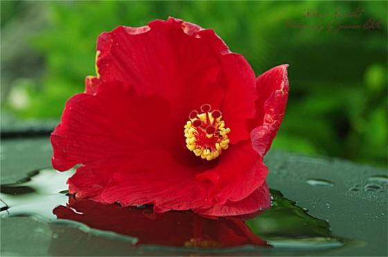 Fallen Blossom- Joanne Edith